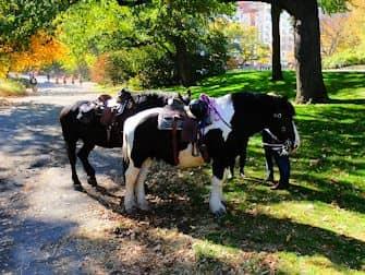 Central Park New Yorkissa - hevoset